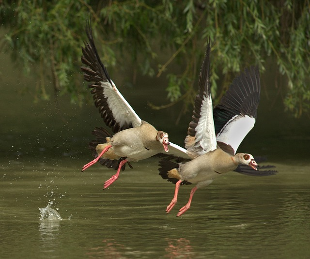 Free geese pets bill poultry water bird wild goose