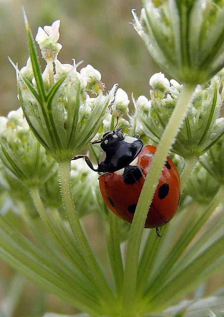 Free ladybug ladybird the ladybug macro