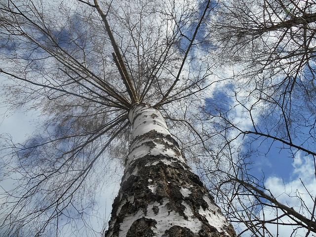 Free birch tree sky sky view white stem mood mystical