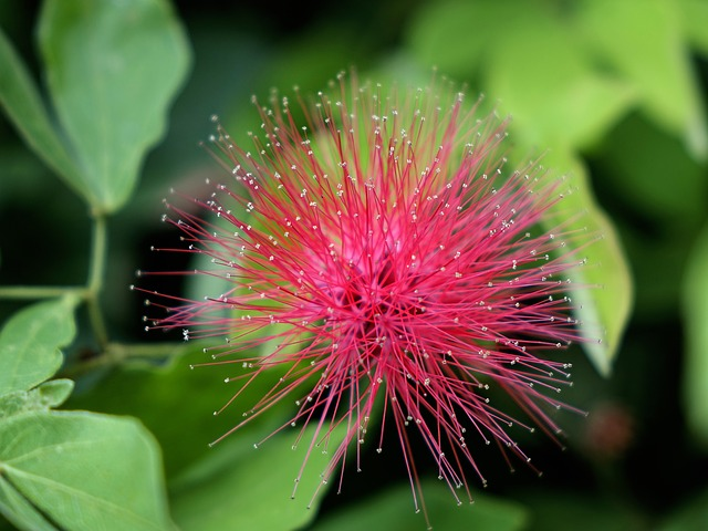 Free calliandra haematocephala red powder puff flower