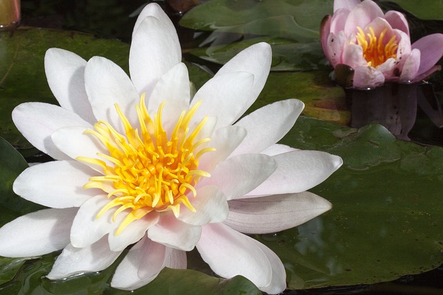Free water lilies nymphaea lake rose aquatic plants