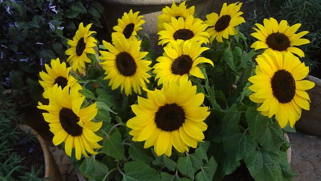 Free sunflower sunflowers sunflower vase garden