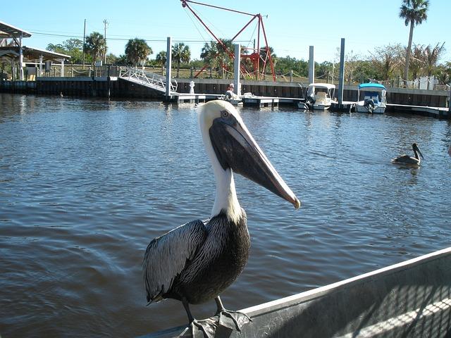 Free pelican water florida wildlife bird pelicans