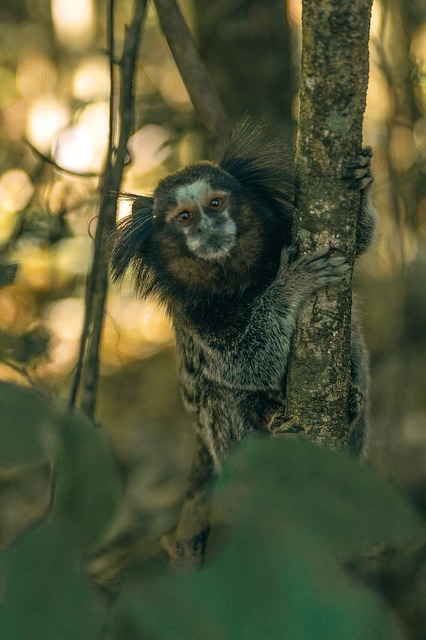 Free monkey brazil nature animal hairy