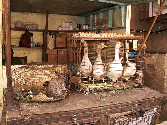 Free market stall hare geese egg cage yaoundé cameroon