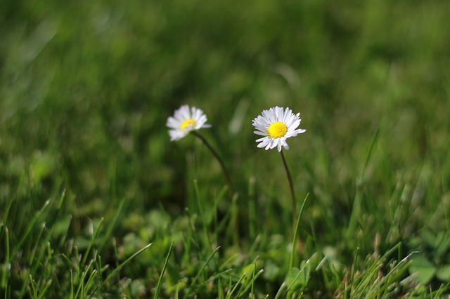 Free daisies flowers green