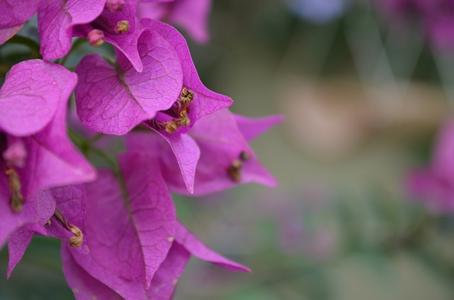 Free bougainville purple rosa plant nature green