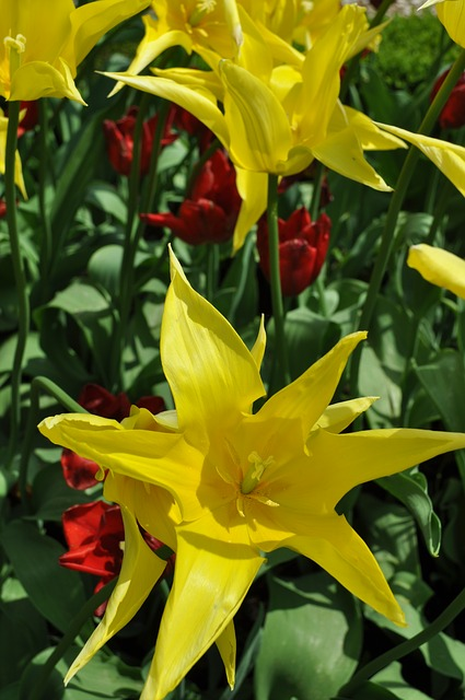 Free tulip flower yellow spring