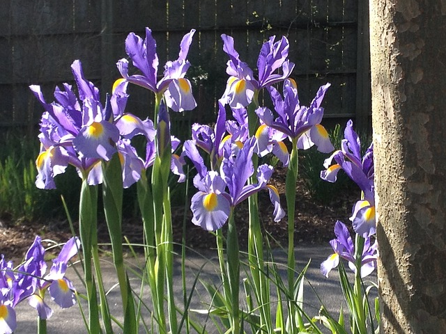 Free iris flowers purple floral flower blossom spring