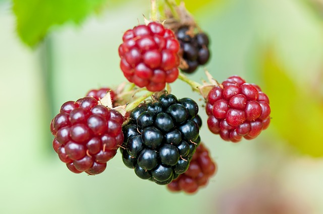 Free blackberries berries rubus sectio rubus fruits ripe