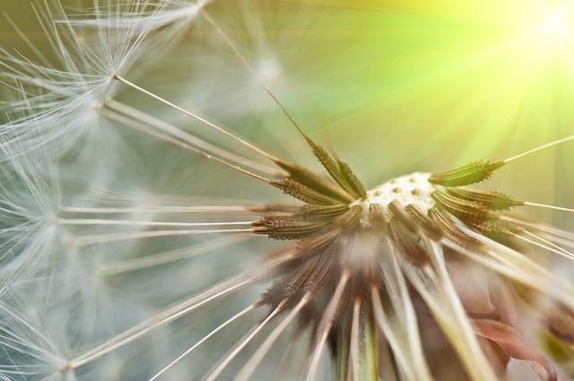 Free dandelion spring summer close seeds nature