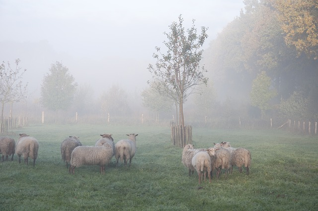 Free Photos: Sheep fog animal autumn | Marc Vandecasteele