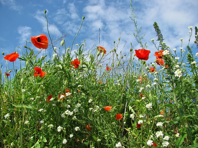 Free meadow poppy grass field spring flower flowers