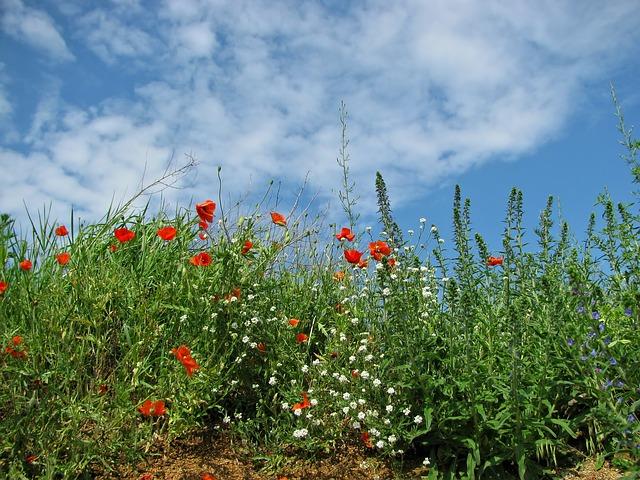 Free meadow poppy grass field spring flower flowers