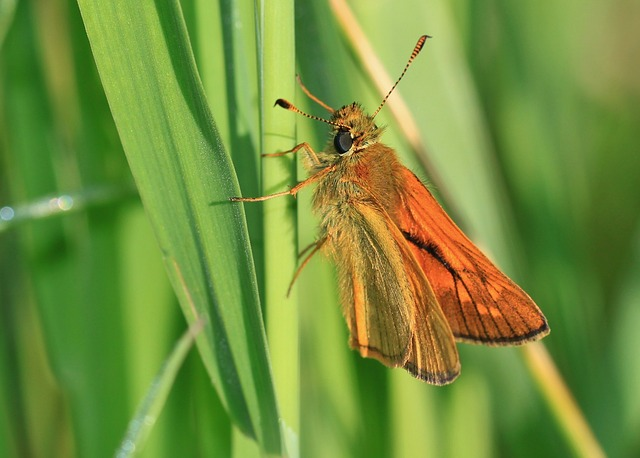 Free skipper butterfly insect butterflies pets animal