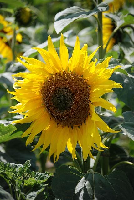Free sunflower helianthus annuus yellow flower seed