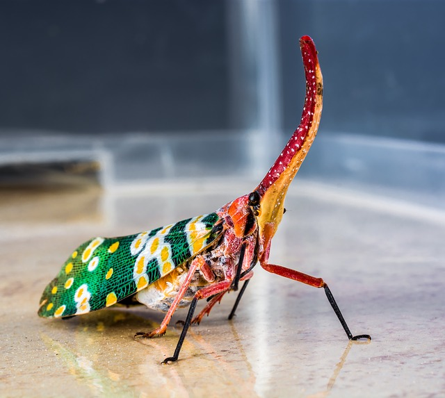 Free canthigaster cicada fulgoromorpha insect proboscis