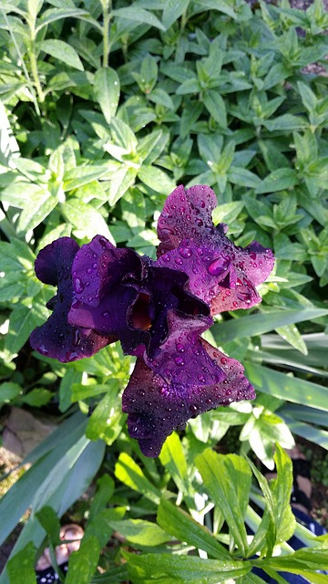 Free iris purple bloom garden spring nature plant