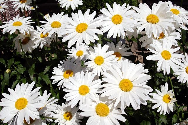 Free flowers nature margaritas bouquet plants spring