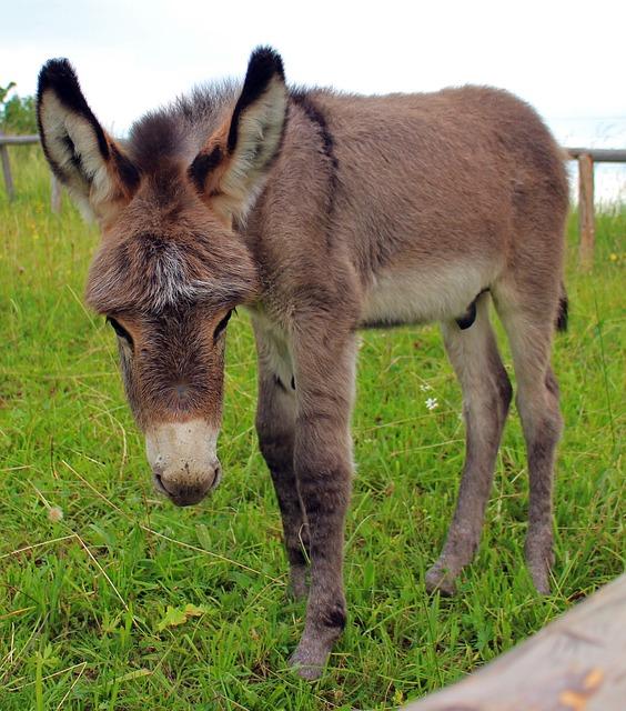 Free donkey donkey foal foal baby animal mammal