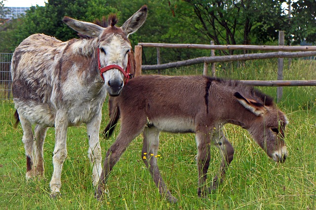 Free donkey donkey foal foal mother child baby animal