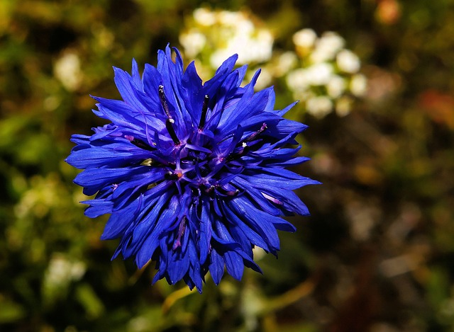 Free cornflower flower blue flower garden nature hope