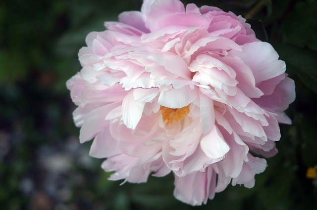 Free peony flower flora plant garden nature spring
