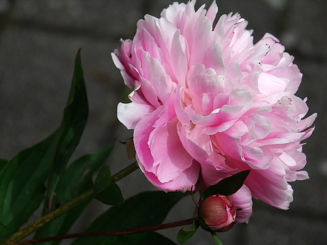 Free peony flower flora plant garden nature spring