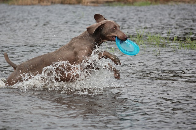 Free weimaraner animal dog snout water wet fur waters