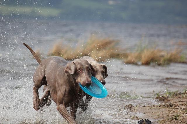 Free weimaraner animal dog snout water wet fur waters