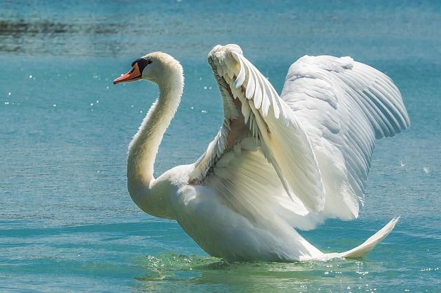 Free swan mute swan cygnus olor anseriformes bird swim