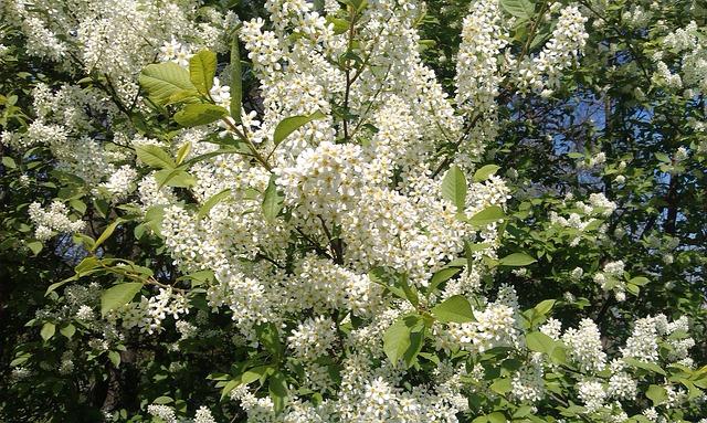 Free bush blooming white spring garden