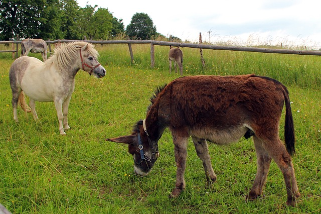 Free pony horse donkey livestock beast of burden mammal