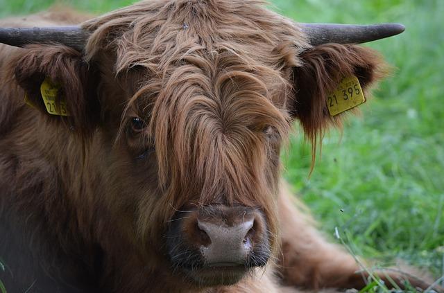 Free scottish hochlandrind beef highlander ox animal