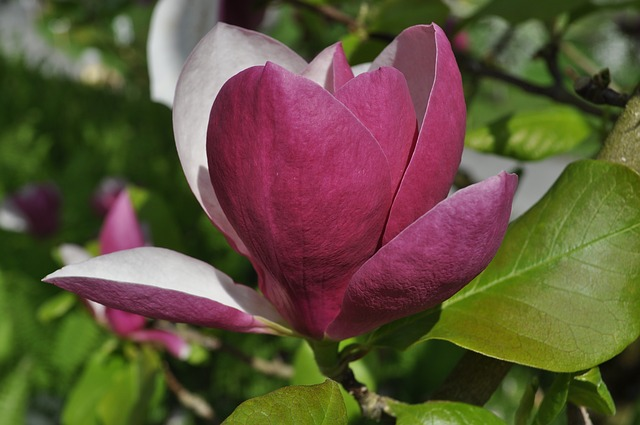 Free magnolia flower bloom nature red white tree