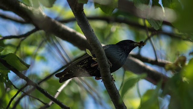 Free starling branch insect food