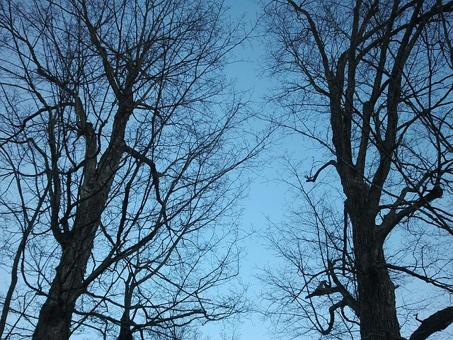 Free maple tree spring blue sky branch branches