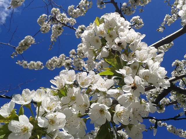 Free blossoms spring apple blossom sky bees flower