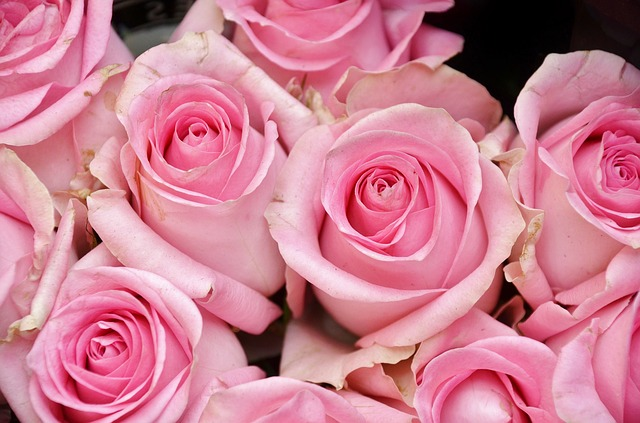 Free roses flower plant nature pink flora tender