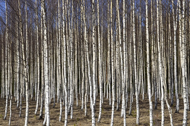 Free birch trees birch tree