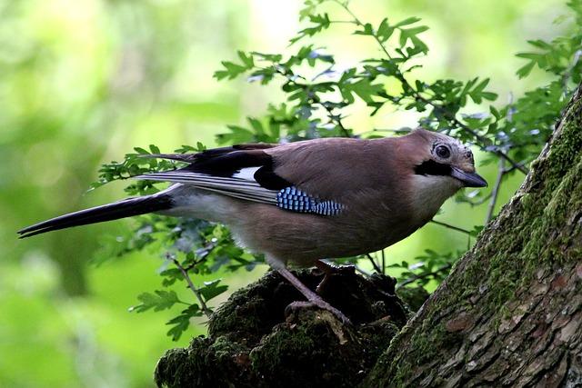 Free jay bird woodland feathers