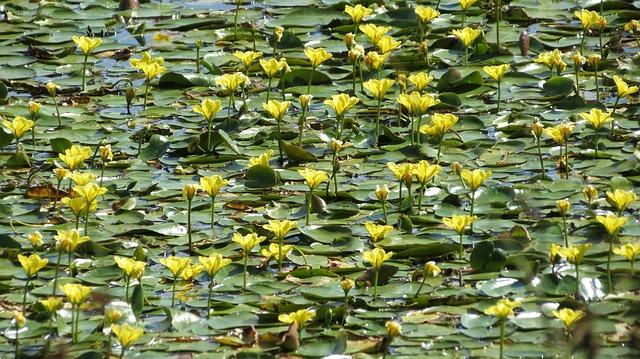Free lake jug nymphaea yellow pond