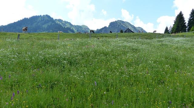 Free allgäu alpe meadow cows mountains cattle nature
