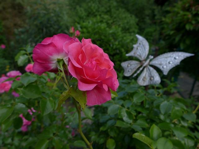 Free rose rose flower flowers plant garden plants flora