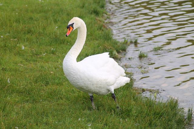 Free swan mute swan bird animal water bird elegant