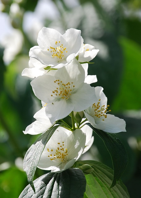 Free syringa vulgaris mock orange flower shrub close-up
