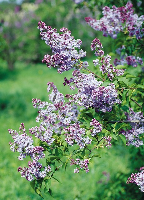 Free lilac shrub flowers flowering shrub purple mauve