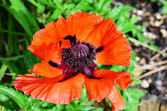 Free poppy oriental poppy scarlet red papaver orientale