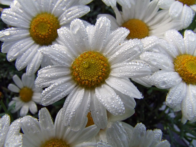 Free Photos: Flower marguerite after the rain flowers white | Nicole Klesy