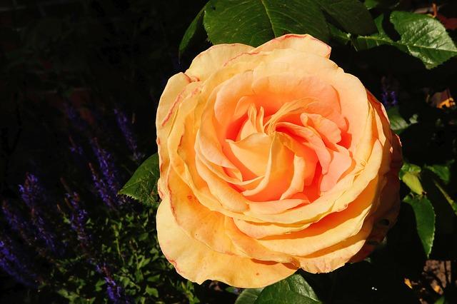 Free Photos: Rose flower orange fragrance beauty summer | Karsten Paulick